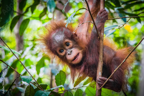 World's cutest baby orangutan hangs in a tree in Borneo Canvas Print