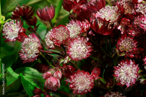 Photo Flower background with astrantia.