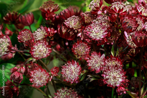 Flower background with astrantia. Canvas Print