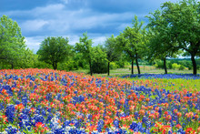 Wildflower Field In Texas Spring