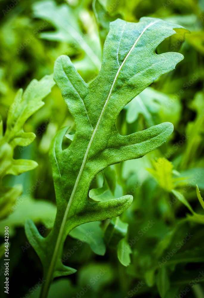 Fototapeta fesh roquette/rucola/wild rocket / (type of lettuce) in a glasshouse