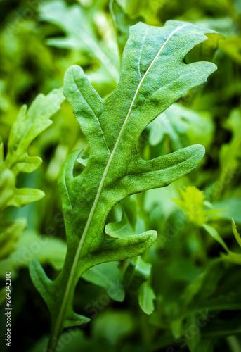 Fototapeta fesh roquette/rucola/wild rocket / (type of lettuce) in a glasshouse obraz