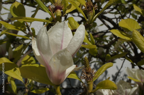 Magnolia outside Canvas Print
