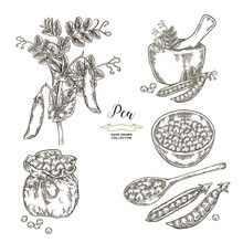 Pea Plant With Pods And Seeds ...