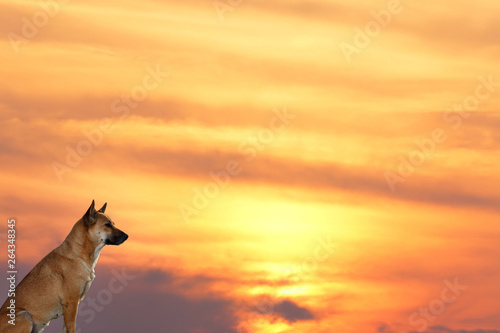 Vászonkép The dog that is sitting looking forward In the midst of the sky at sunset near