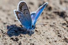 Karner Blue Butterfly  (Polyommatus Icarus) Macro.