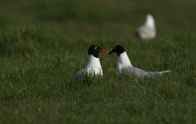Two Rare Mediterranean Gulls, Larus Melanocephalus, Feeding In A Field In The UK.