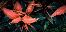 Leaf Or  Cordyline  Fruticosa ...