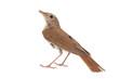 Common nightingale, Luscinia megarhynchos, isolated on white background.