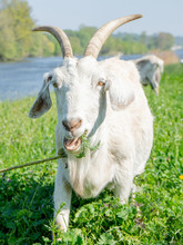 Close Up Shot Of Goat With Bu...