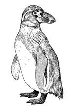 Drawing Of Magellanic Penguin ...