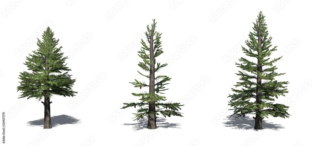 Fototapety, obrazy: Set of Norway Spruce trees with shadow on the floor - isolated on a white background