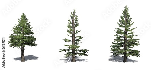 Obraz na plátně  Set of Norway Spruce trees with shadow on the floor - isolated on a white backgr