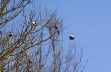 Jacaranda Tree In Spring With Seed Capsules