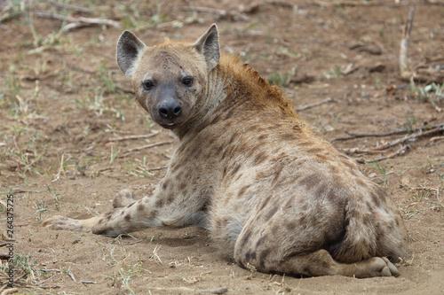 Poster Hyène Tüpfelhyäne / Spotted hyaena / Crocuta crocuta