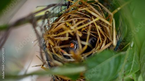 Obraz na płótnie a bird in an artificial nest in captivity incubates eggs