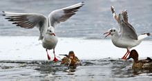 Angry Black Headed Gulls