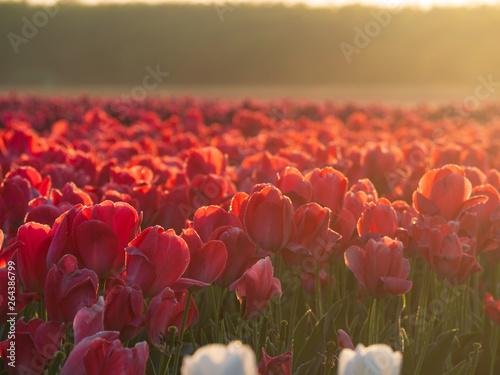 Foto op Canvas Koraal field of tulips