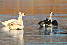 Mute Swans And Coots On Frozen...