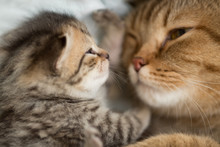 Lovely Cat Mother And Kitten Have Rest Together Face To Face