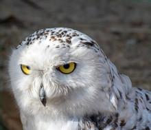 Snowy Owl. Close-up Photo