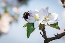 Bourdon Qui Butine Dans Des Fleurs De Pommiers