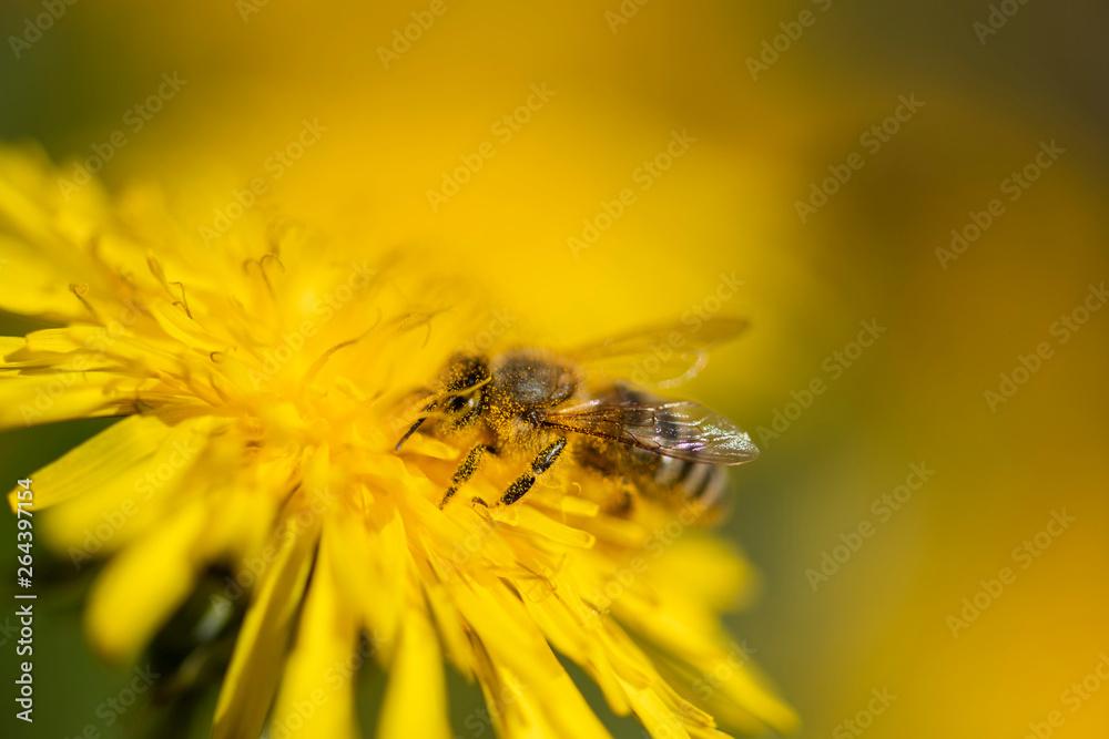 Fototapety, obrazy: Honigbiene sammelt Necktar auf Blütenpflanze, behaftet mit Pollen und Blütenstaub