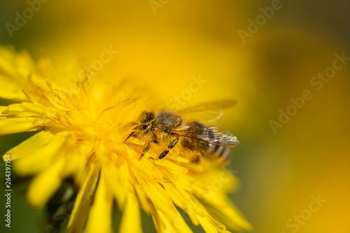 fototapeta na drzwi i meble Honigbiene sammelt Necktar auf Blütenpflanze, behaftet mit Pollen und Blütenstaub