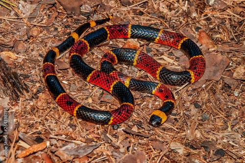 Fotomural Eastern Coral Snake (Micrurus fulvius)
