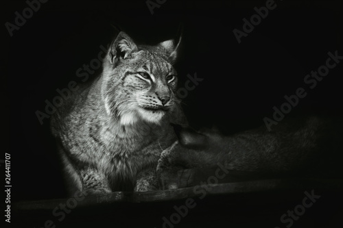 Portrait of a sitting lynx close-up on an isolated black background