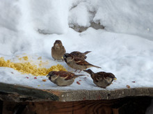 Flock Of House Sparrows (Passe...