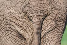 African Elephant (Loxodonta Africana), Detail, Maasai Mara National Reserve, Kenya, Africa.