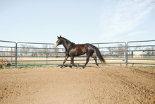 Large Horse In Round Pen Lunging Outdoors.