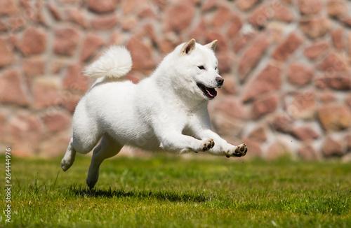 hokkaido dog runs Poster Mural XXL