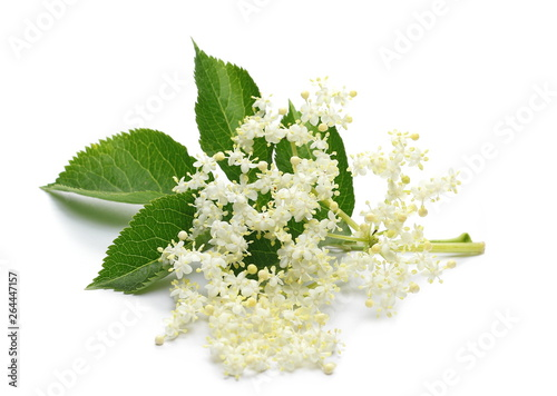 Door stickers Floral Elder or elderberry isolated on white background