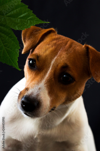 Fototapety, obrazy: Dog girl Jack Russell looking away on black background