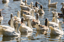 Several White Ducks Swimming On Lake São Bernardo In São Francisco De Paula In Brazil.