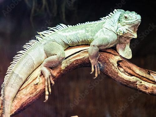 Foto auf AluDibond Chamaleon Iguana