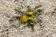 Blüten des Löwenzahns im Kies, Taraxacum officinale