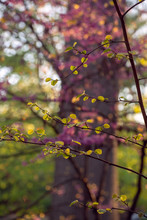 Close-up Of Fothergilla Leaves In Front Of Pink Flowering Redbud Tree In The Spring