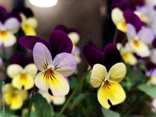 Ingelijste posters Pansies colorful pansy flowers in the garden