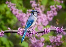 Blue Jay In Sakura Bloom