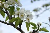 Fototapeta Kwiaty - kwiaty gruszy