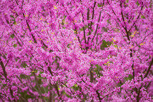 Pink Flowering Redbud Tree In ...