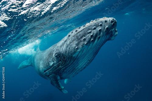 クジラ whale TONGA Canvas Print