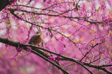 Robin Sitting In A Flowering Redbud Tree In The Spring