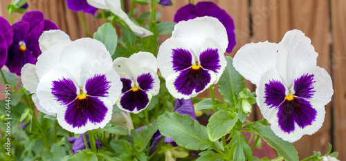 Close-up of four white and violet pansies in a row.