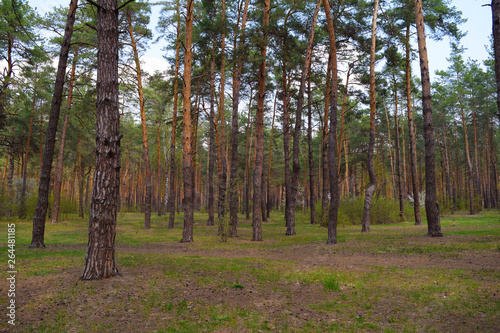 Garden Poster Birch Grove Beautiful fairy landscape of pine forest. Nature in spring.