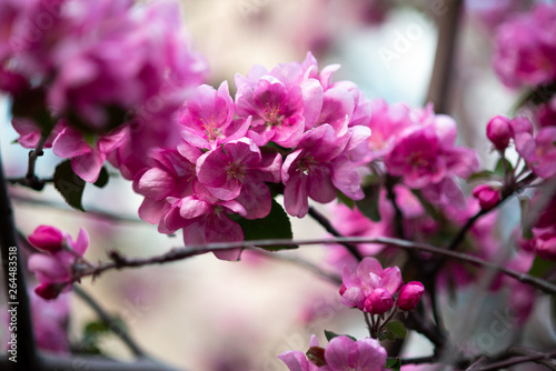 Poster Rose blooming pink flowers of an apple tree on an abstract background in spring in good weather