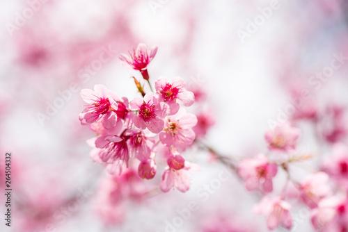 Keuken foto achterwand Kersenbloesem Pink cherry blossom, beautiful flowers in spring season